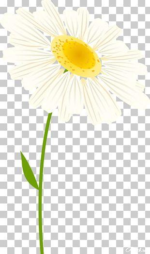 Daisy Family Oxeye Daisy Cut Flowers Transvaal Daisy PNG