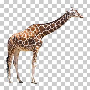 Animal Board Book Stock Photography Masai Giraffe PNG