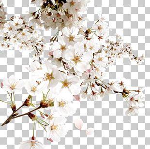 White Cherry Blossom PNG