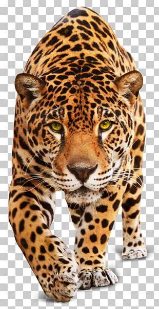 Jaguar Leopard Tiger Cheetah Cat PNG