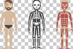 Human Body Circulatory System Anatomy Illustration PNG