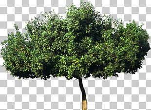 Tree Plant Bombax Ceiba Leaf Green PNG