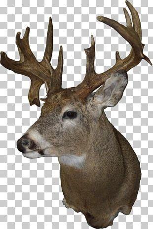 White-tailed Deer Taxidermy Moose Elk PNG