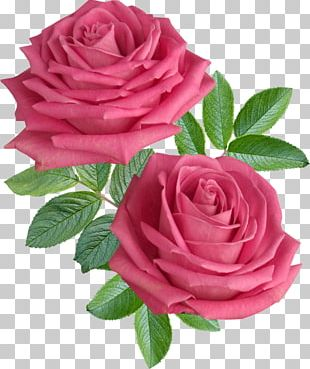 Rose Flower Stock Photography Desktop PNG