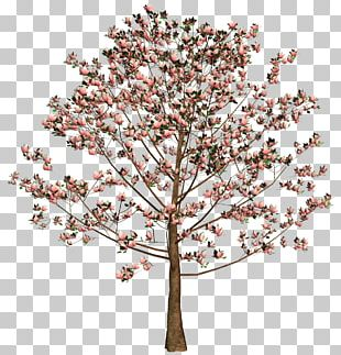 Cherry Blossom Tree Flower Twig PNG