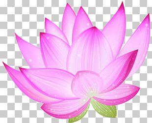 Nelumbo Nucifera Lotus PNG