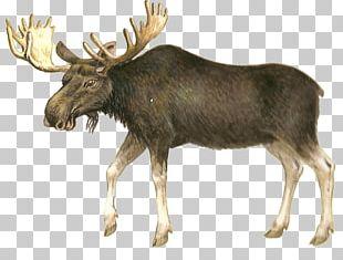 Moose Deer Hunting PNG