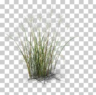 Herbaceous Plant Common Reed Grass 3D Computer Graphics Design PNG