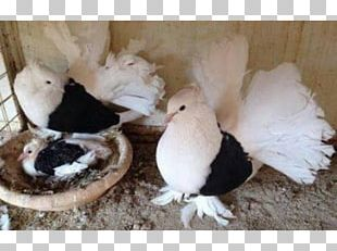 Columbidae Domestic Pigeon Ranchi Bird Fancy Pigeon PNG
