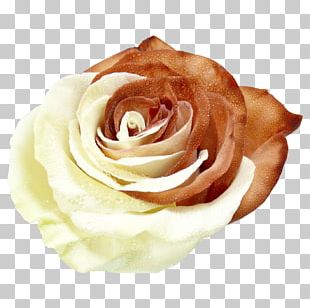 Garden Roses Cabbage Rose Cut Flowers Hand Petal PNG