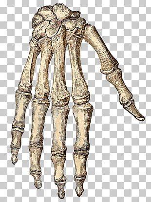 Human Skeleton Hand Bone PNG