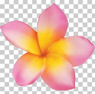 Plumeria Rubra Flower Stock Photography PNG