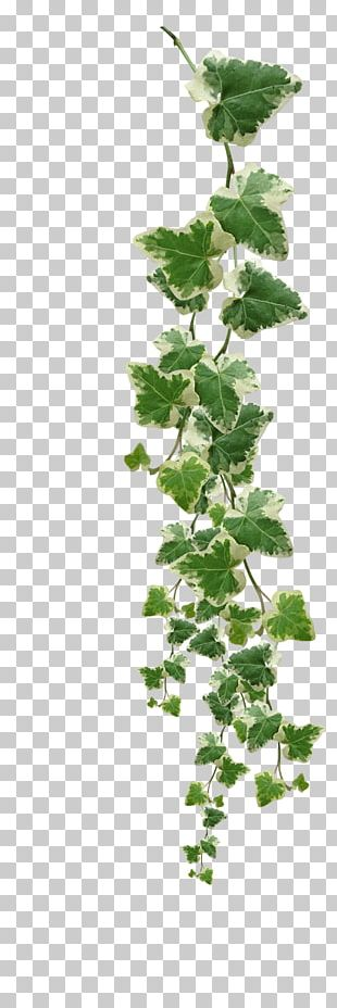 Common Ivy Vine Muscadine Grape Plant PNG