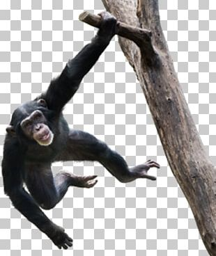 Video Monkey Stock Photography Ape PNG