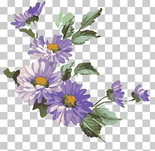Chrysanthemum Flower Purple Common Daisy Illustration PNG