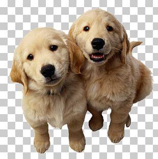Golden Retriever Labrador Retriever Puppy Pet PNG