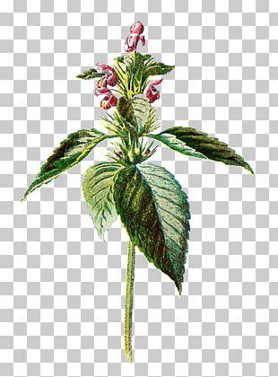 Common Nettle Flower Botany Botanical Illustration PNG