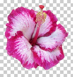 Hawaiian Hibiscus Pink Flowers Common Hibiscus Shoeblackplant PNG