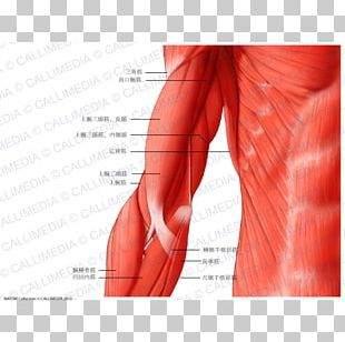 Shoulder Muscle Arm Human Anatomy Human Body PNG