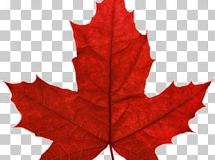 Red Maple Maple Leaf Japanese Maple Autumn Leaf Color PNG