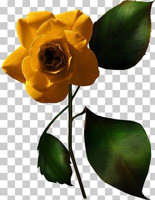 Garden Roses White Rose Of York Love PNG