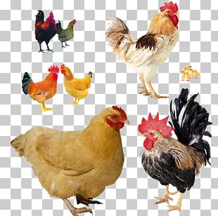 Chicken Take-out Rooster Poultry Farming PNG