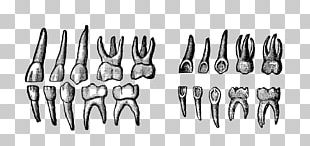 Deciduous Teeth Human Tooth PNG