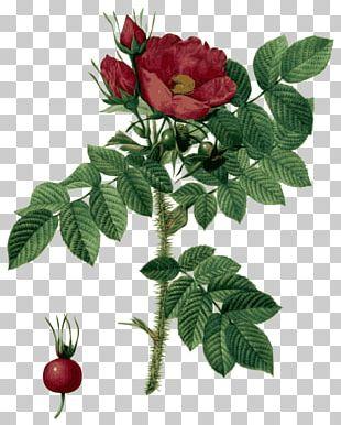 Les Roses Botanical Illustration Flower PNG