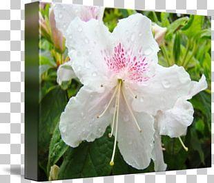 Azalea Rhododendron Floral Design Flower Landscape Design PNG