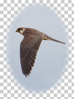 Hawk Buzzard Eagle Beak Falcon PNG