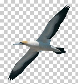 Gannet Bird Migration Booby Beak PNG
