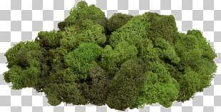 Moss Reindeer Lichen Стабилизированный мох Gametophyte PNG