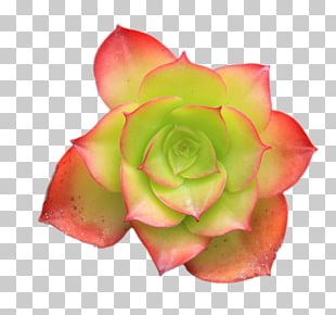 Succulent Plant Hen And Chicks Flower Plants Cactus PNG