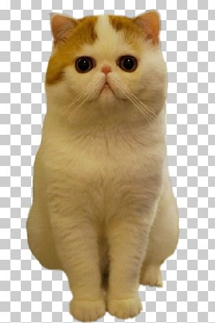 Exotic Shorthair Persian Cat American Shorthair British Shorthair Kitten PNG