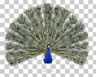 Bird Asiatic Peafowl Pavo Feather Green Peafowl PNG