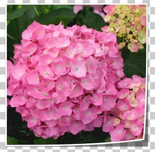 Tea Of Heaven French Hydrangea Flower Shrub Pink PNG