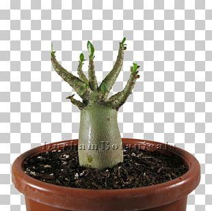 Adenium Arabicum Adenium Obesum Cactaceae Plant Bonsai PNG