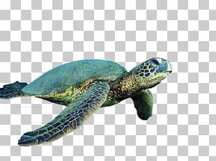 Sea Turtle Reptile Cropping PNG