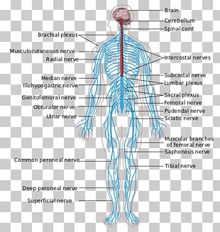 Peripheral Nervous System Central Nervous System Anatomy Human Body PNG