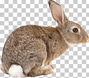 New Zealand Rabbit Netherland Dwarf Rabbit Domestic Rabbit Bird Frog PNG