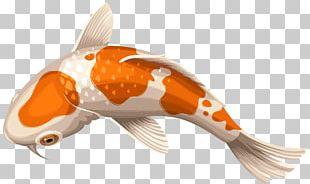 Koi Showa Goldfish PNG