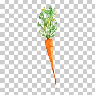Vegetable Watercolor Painting Carrot Drawing PNG