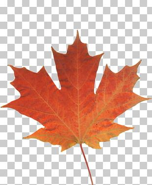 Maple Leaf Autumn Leaf Color Canada PNG