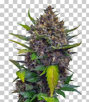 Cannabis Skunk Seed Cultivar Plant PNG