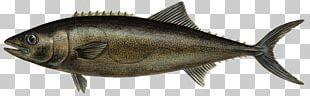 Milkfish Escolar Thunnus Oily Fish PNG