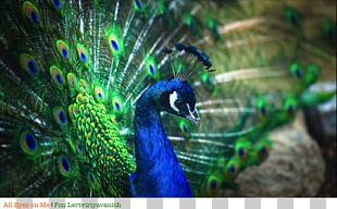 Bird Asiatic Peafowl Feather Peacock Dance PNG