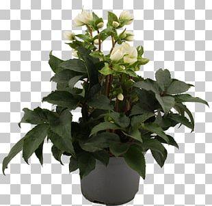 Flowerpot Leaf Houseplant Herb PNG