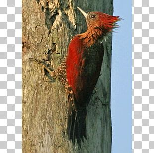 Woodpecker Fauna Beak PNG