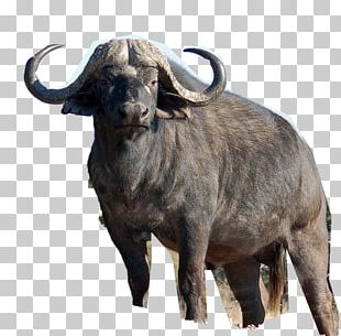 Africa Water Buffalo American Bison Deer Lion PNG