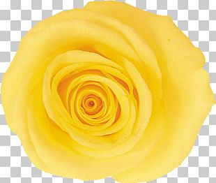 Garden Roses Cut Flowers Yellow PNG